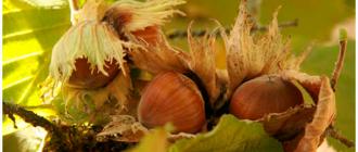 фундук и листья