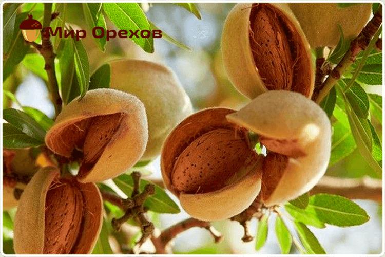 спелые орехи миндаля
