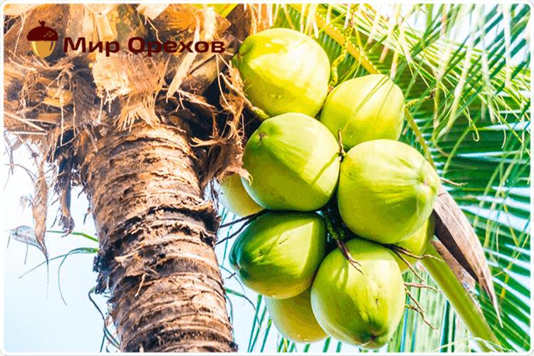 кокосы на дереве