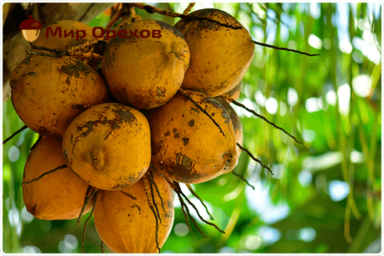 плоды кокоса